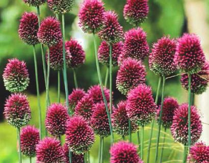 Allium Spaerocephalon  XXL - sierui