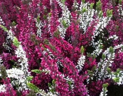 Calluna vulgaris 'Triogirls' 1 liter pot – zomerheide - sneeuwbal
