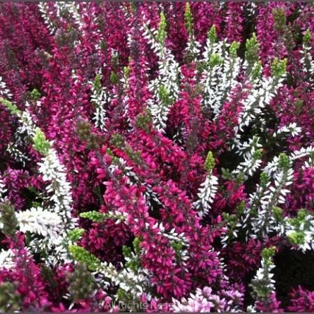 Calluna vulgaris 'Triogirls' 1 liter pot – zomerheide