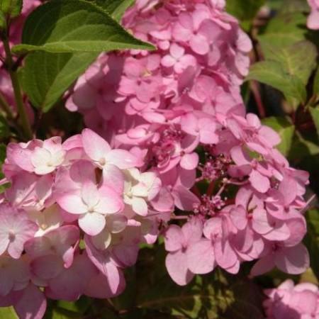 Hydrangea serrata 'Belladonna' - Japanse berghortensia, dwerghortensia