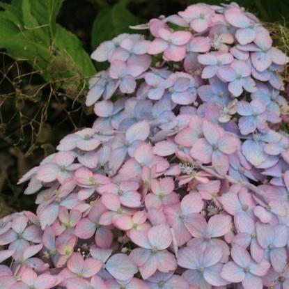 Hydrangea serrata 'Betu Ko Temari' - Japanse berghortensia, dwerghortensia