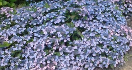 Hydrangea serrata 'Koreana' - Koreaanse berghortensia, dwerghortensia