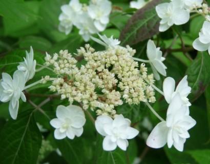 Hydrangea serrata 'Shirotae' - Japanse berghortensia, dwerghortensia