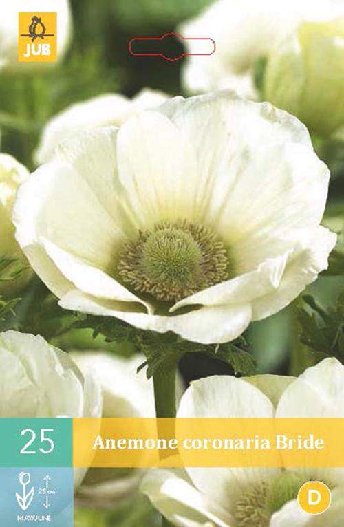 Anemone coronaria 'Bride' - anemoon