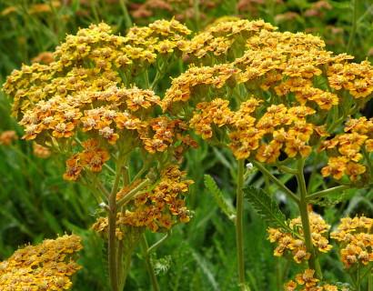 Achillea millefolium 'Terracotta' - duizendblad