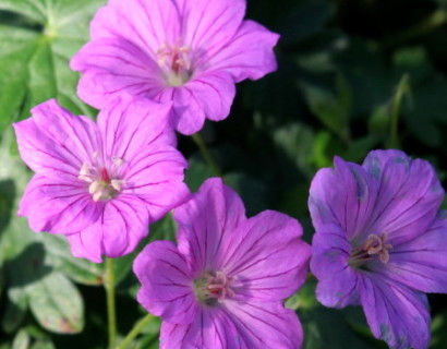 Geranium 'Blushing Turtle' pot 2 liter