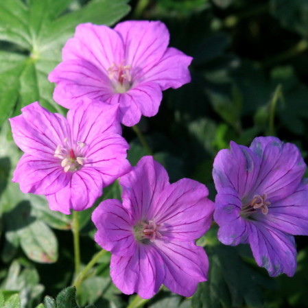 Geranium 'Blushing Turtle' pot 3 liter