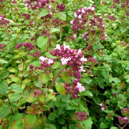 Origanum 'Rosenkuppel' - siermarjolein