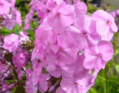 Phlox maculata 'Alpha' - vlambloem