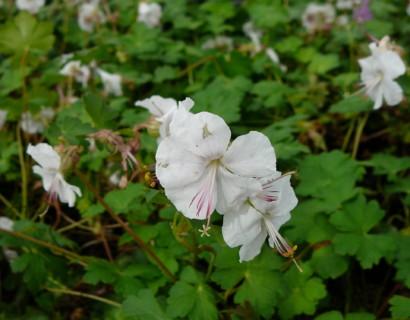 Geranium cantabrigiense 'St-Ola'