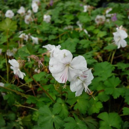 Geranium cantabrigiense 'St-Ola' - ooievaarsbek