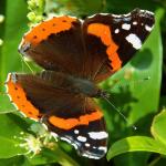 Alles over de vlindertuin. Met welke planten lok ik vlinders naar mijn tuin?