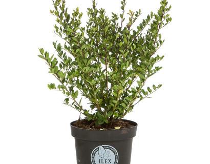 Ilex crenata 'Dark Green' pot 2 liter 30/40 cm - Japanse hulst