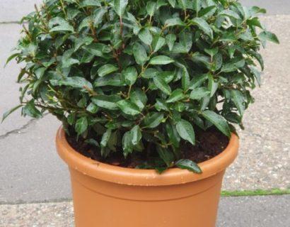 Prunus lusitanica 'Angustifolia' bol 45 cm - Portugese laurier