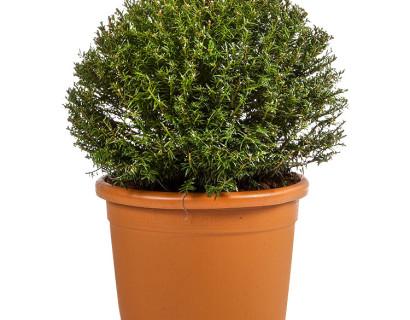Taxus baccata bol 60 cm - venijnboom