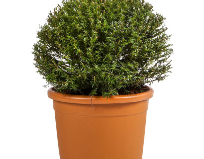 Taxus baccata bol 40 cm - venijnboom