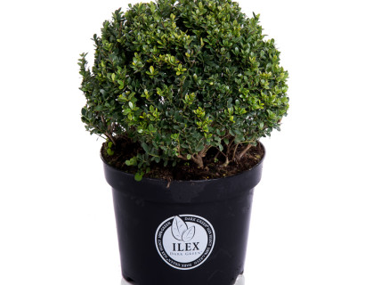 Ilex crenata 'Dark Green' bol 35 cm - Japanse hulst
