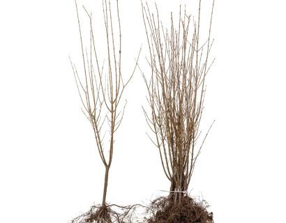 Ligustrum ovalifolium blote wortel 60/90 cm - liguster