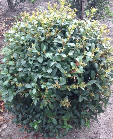 Osmanthus burkwoodii bolvorm - Schijnhulst