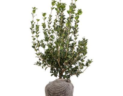 Osmanthus heterophyllus kluit 80/100 cm - schijnhulst