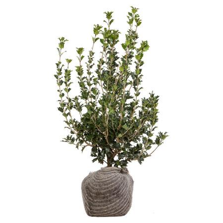 Osmanthus heterophyllus 80/100 cm