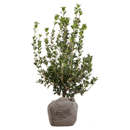 Osmanthus heterophyllus kluit 80/100 cm