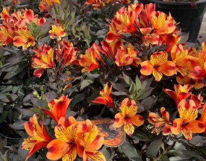 Alstroemeria 'Indian Summer' (grote pot) - incalelie