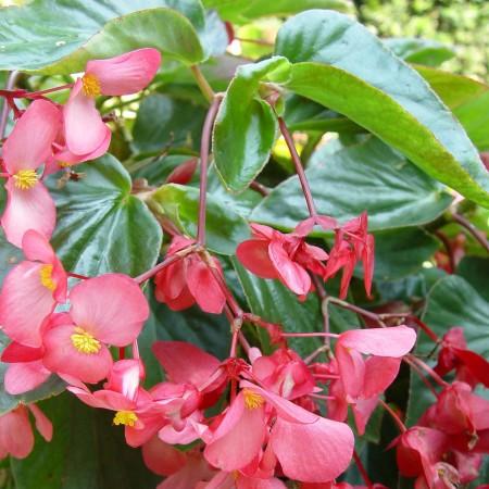 Begonia 'Dragon Wing' - Reuzenbegonia
