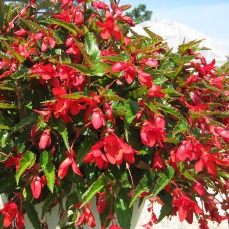 Begonia 'Waterfalls' - Hangbegonia