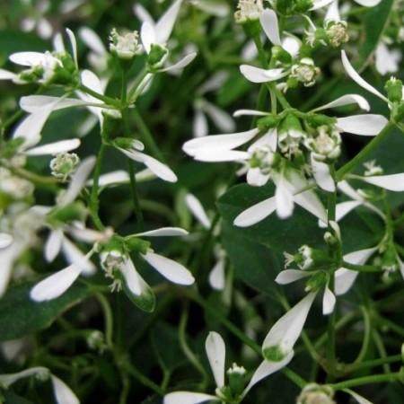 Euphorbia 'Diamond Frost' - Euphorbia