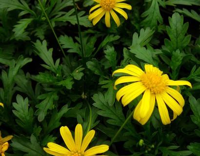 Euryops - Gele margriet