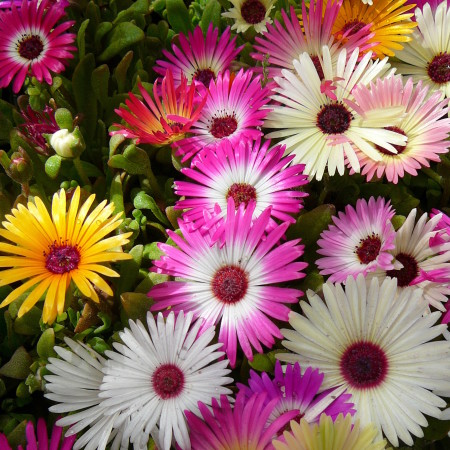 Mesembryanthemum - ijsbloem of ijsplantje
