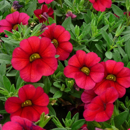 Million Bells of Calibrachoa - Million Bells of mini-Surfinia