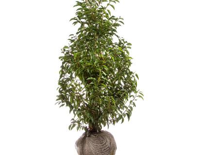Prunus lusitanica 'Angustifolia' 100/125 cm - Portugese laurier