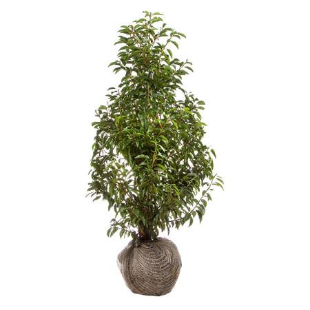 Prunus lusitanica 'Angustifolia' 100/125 cm