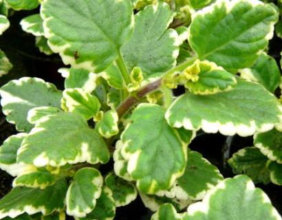 Plectranthus - Plectranthus