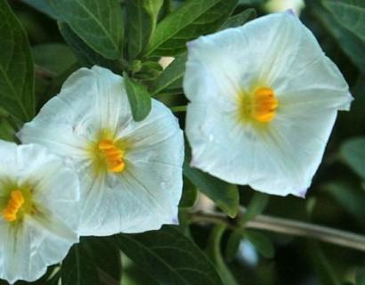 Solanum rant. 'Charles White' op stam - Aardappelstruik