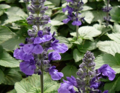 Salvia 'Mystic Blue' - Salvia