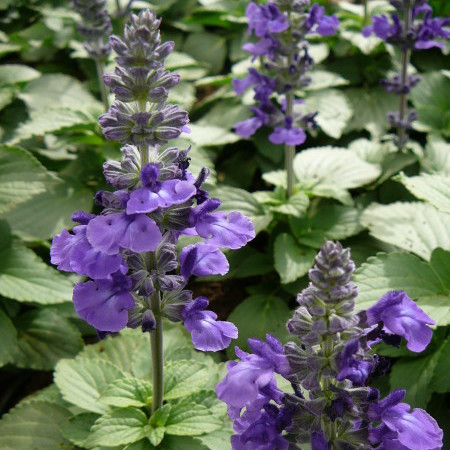 Salvia 'Mystic Blue' - Salvia