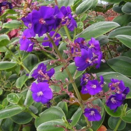 Tibouchina op stam - spinnenbloem