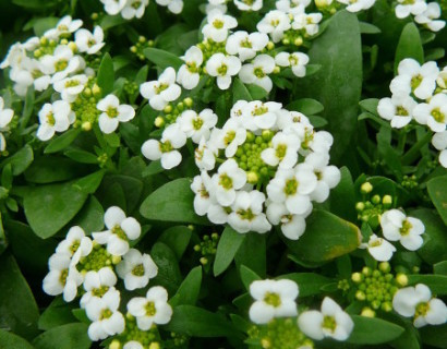 Alyssum of Lobularia - sneeuwkleed