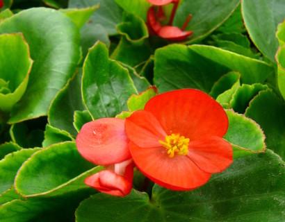 Begonia - Bacopa
