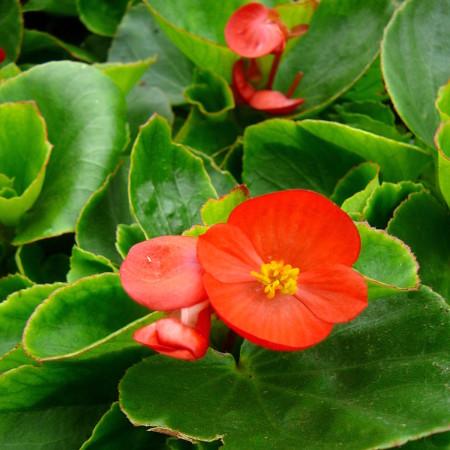 Begonia -
