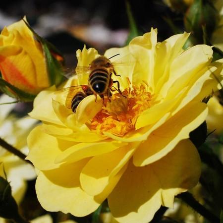 Rosa 'Bijenweelde Geel' - bijenweelde roos