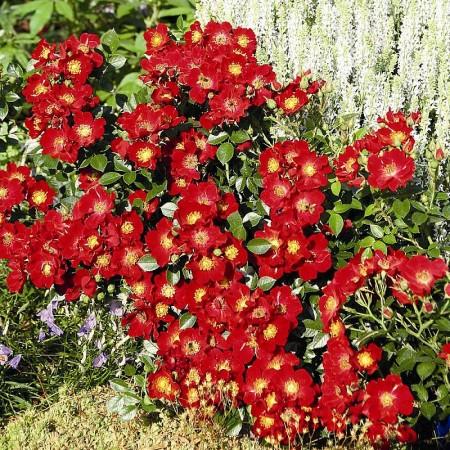 Rosa 'Bijenweelde Rood' - Bijenweelde roos