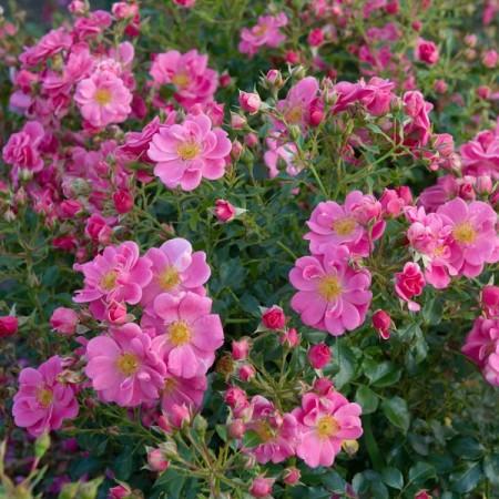 Rosa 'Bijenweelde Roze' - Bijenweelde roos
