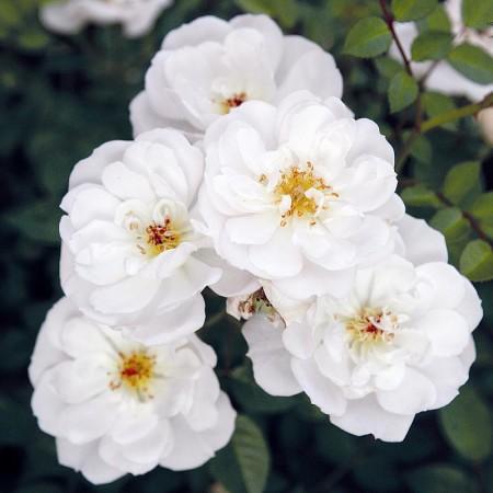 Rosa 'Bijenweelde Wit' - Bijenweelde roos