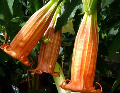 Brugmansia (Datura) - Engelentrompet