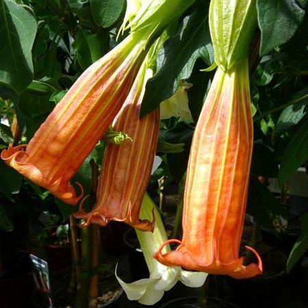 Brugmansia (Datura) op stam - Engelentrompet