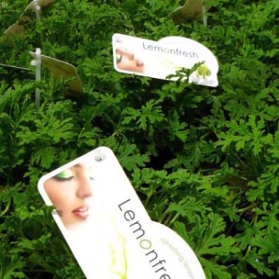 Pelargonium 'Musquito Fighter' - citroengeranium